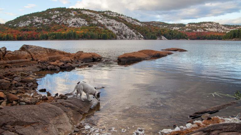 Nancy the dog drinks from Killarney Lake